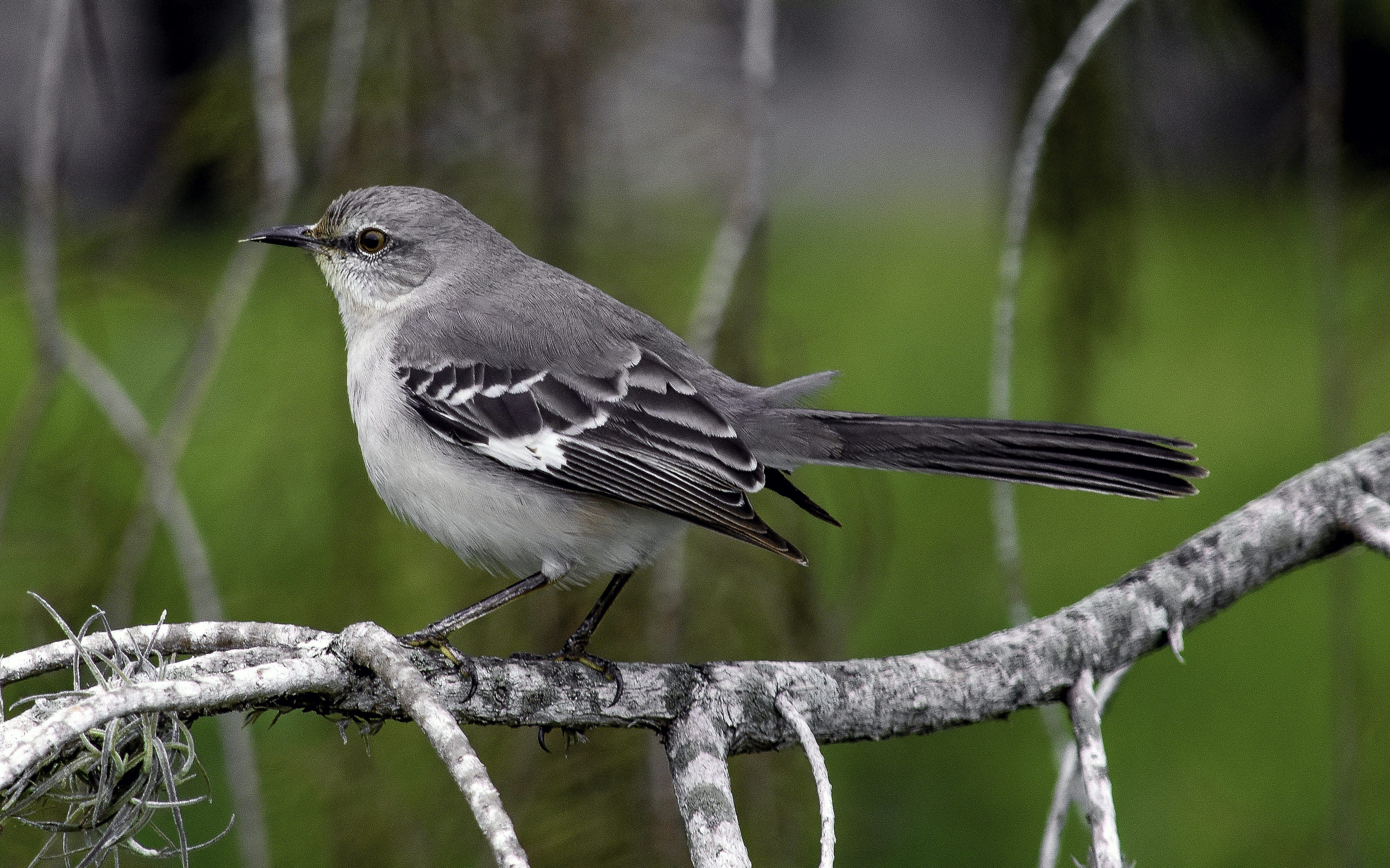 texana thursday 3 things you might not know about mockingbirds